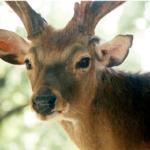 宮崎・都城市|ダムに落ちたシカ|野生鹿を山へ帰す予定の鹿は…